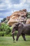 Afrikaanse struikolifant in het Nationale park van Mapungubwe, Zuid-Afrika stock afbeeldingen
