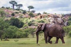 Afrikaanse struikolifant in het Nationale park van Mapungubwe, Zuid-Afrika stock foto's
