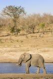 Afrikaanse struikolifant in riverbank, in Kruger-Park, Zuid-Afrika Royalty-vrije Stock Afbeeldingen