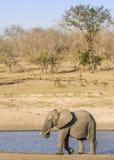 Afrikaanse struikolifant in riverbank, in Kruger-Park, Zuid-Afrika Royalty-vrije Stock Afbeelding