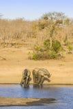 Afrikaanse struikolifant in riverbank, in Kruger-Park, Zuid-Afrika Royalty-vrije Stock Fotografie