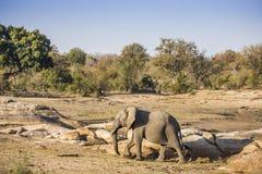 Afrikaanse struikolifant in riverbank, in Kruger-Park, Zuid-Afrika Stock Fotografie