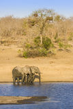 Afrikaanse struikolifant in riverbank, in Kruger-Park, Zuid-Afrika Stock Afbeelding
