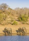 Afrikaanse struikolifant in riverbank, in Kruger-Park, Zuid-Afrika Stock Afbeeldingen