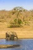Afrikaanse struikolifant in riverbank, in Kruger-Park, Zuid-Afrika Stock Foto's