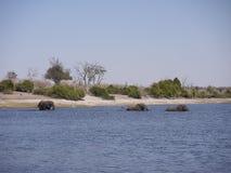 Afrikaanse struikolifanten die Chobe-rivier kruisen Royalty-vrije Stock Foto's