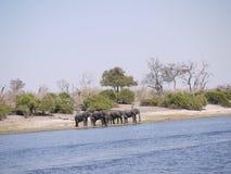 Afrikaanse struikolifanten die Chobe-rivier kruisen Stock Afbeeldingen