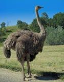 Afrikaanse Struisvogel Stock Foto's