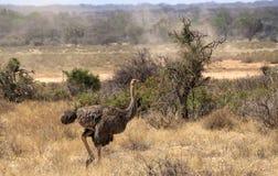Afrikaanse Struisvogel Royalty-vrije Stock Afbeeldingen
