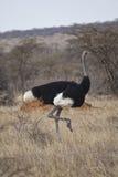 Afrikaanse Struisvogel Royalty-vrije Stock Fotografie