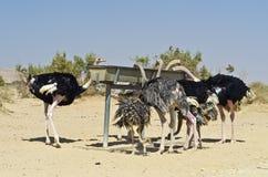 Afrikaanse struisvogel (camelus Struthio) Stock Afbeelding