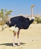 Afrikaanse struisvogel (camelus Struthio), Israël Stock Afbeeldingen