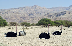 Afrikaanse struisvogel (camelus Struthio), Israël Royalty-vrije Stock Foto