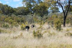 Afrikaanse struisvogel in de savanne van Namibië in aard stock afbeelding