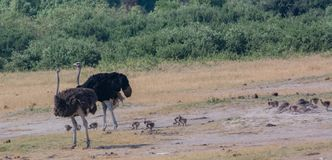 Afrikaanse struisvogel in de savanne van in Zimbabwe, Zuid-Afrika royalty-vrije stock afbeelding