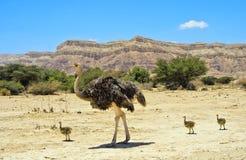 Afrikaanse struisvogel met kuikens, Israël Stock Afbeelding