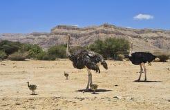 Afrikaanse struisvogel met kuikens, Israël Royalty-vrije Stock Foto's