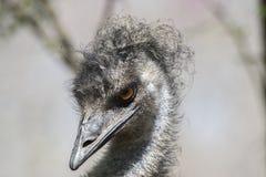 Afrikaanse struisvogelvogel, veren, haar, bek, het wild Stock Foto