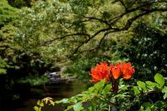 Afrikaanse Tulip Tree-bloem op de wildernisachtergrond van Kauai Hawaï stock afbeelding