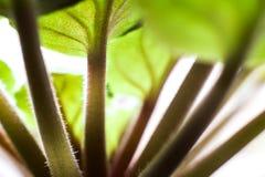 Afrikaanse Violet Detail Stock Foto's