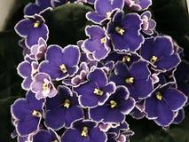 Afrikaanse violet-Saintpaulia Royalty-vrije Stock Afbeeldingen