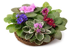 Afrikaanse violette die saintpaulia in een mand wordt geschikt Royalty-vrije Stock Afbeeldingen