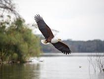 Afrikaanse Vissen Eagle in actie stock afbeelding