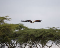 Afrikaanse Vissen Eagle die boven de bomen vliegen stock afbeeldingen