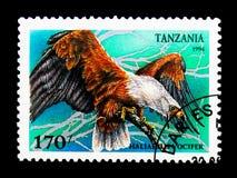 Afrikaanse Vissen Eagle (Haliaetus vocifer), Roofvogels serie, cir Royalty-vrije Stock Foto's