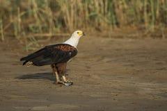 Afrikaanse Vissen Eagle met vissen Stock Afbeelding