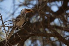 Afrikaanse vogel die voedsel zoeken stock foto's