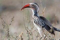 Afrikaanse Vogel in het Nationale Park van Kruger, Zuid-Afrika stock afbeeldingen
