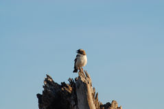Afrikaanse vogel (Kenia) Stock Afbeeldingen