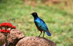 Afrikaanse Vogel van Blauw Royalty-vrije Stock Afbeelding
