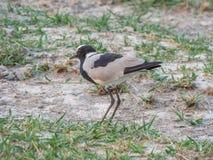 Afrikaanse vogelsmid Lapwing, Botswana stock afbeelding