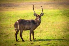 Afrikaanse Waterbuck-Antilope Stock Foto's