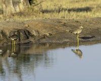 Afrikaanse Wattled-Kievitplevier - Vogels van het Grote Grensoverschrijdende Park van Lumpopo royalty-vrije stock foto's