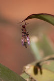 Afrikaanse Wesp Stock Afbeeldingen