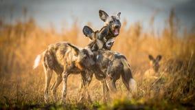 Afrikaanse wiildhonden in Zuid-Afrika stock afbeelding
