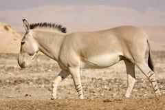 Afrikaanse wilde ezel royalty-vrije stock afbeelding
