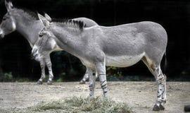 Afrikaanse wilde ezel Royalty-vrije Stock Foto's