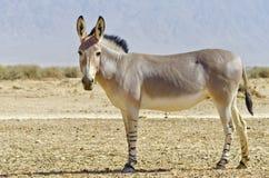 Afrikaanse wilde ezel Stock Afbeelding