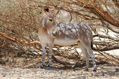 Afrikaanse wilde ezel stock foto