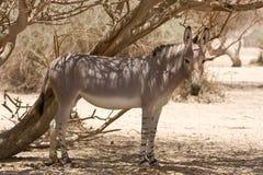Afrikaanse wilde ezel royalty-vrije stock fotografie