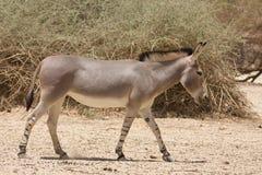 Afrikaanse wilde ezel royalty-vrije stock afbeeldingen