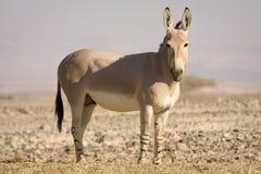 Afrikaanse wilde ezel op woestijn Royalty-vrije Stock Afbeeldingen