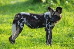 Afrikaanse Wilde Hond Royalty-vrije Stock Foto's