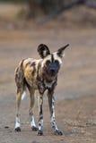 Afrikaanse Wilde Hond Stock Afbeeldingen