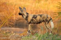 Afrikaanse Wilde Hond Royalty-vrije Stock Fotografie