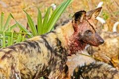 Afrikaanse Wilde Hond bij doden stock foto